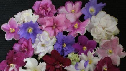 burza fialek botanická zahrada