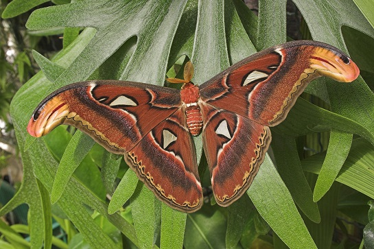 Výstava motýlů Atacus atlas