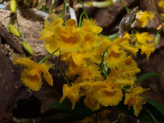 Výstava orchidejíDendrobium harveyanum