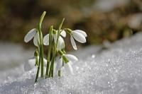 sněženky v zimě