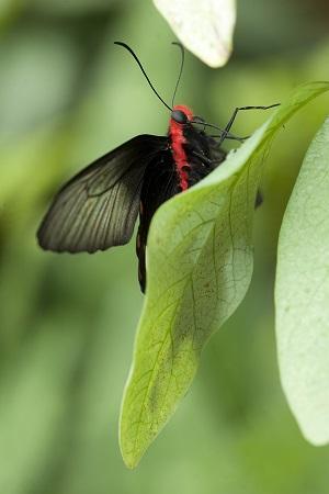 Výstava motýlů Atrophaneura semperi